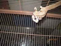 I have a pair of twin sugar glider joeys for sale. boy