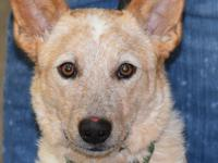Meet Lacey, she is a beautiful small cattle dog with a