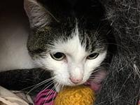 LACEY's story Meet LACEY. She is a domestic short hair,