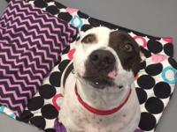 Lacey is a white and black female Pointer mix. She was