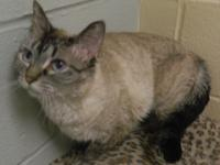 Lacey is a beautiful female short-hair Siamese mix cat,