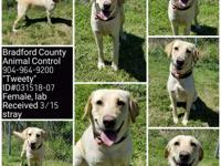 Lacey is a 2-year-old Yellow Lab who was a stray at a