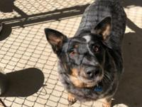 Lacie is an adult Blue Heeler mix who came to us from a