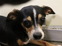Lacy's story Lacey is a beautiful gal who is spayed,