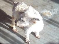 Lacy's story Lacy Schnauzer is a lover. She prefers to