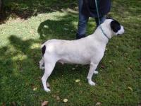 Pretty bobtailed female bulldog mix about 2-3 years old