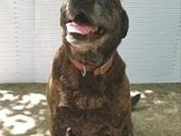 Lady's story Lady is a friendly beautiful brindle. She