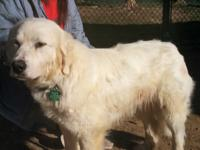 Lady Frost is a lovely young female Pyr. We estimate