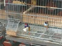 Aiming to rehome my birds and cages, they are 60 lady