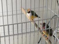 1 bonded pair(my best breeders) of lady Gouldians to a
