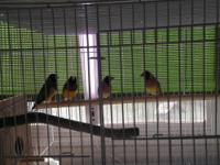 I have 9 mos old Lady Gouldians, 2 males, 3 females,