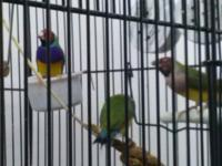 Rehoming 6 Lady Gouldian Finches with large air travel