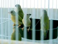 I have 3 young/juvies normal lady gouldian for sale,
