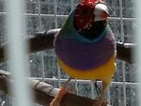 2 male Lady Gouldian normal colored finches. Parent