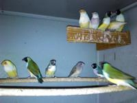 I have Gouldian for sale, there are in excellent