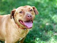 LADY LAUREL's story Lady Laurel is one happy Pitbull