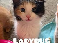 My story Ladybug is a female Calico/Domestic Medium
