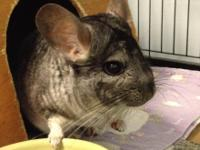 Lainey is a petite chinchilla girl who made her way to