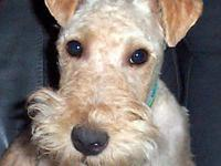 Lakeland Terrier - Rafe - Small - Young - Male - Dog