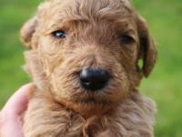 Laken is a light red male common poodle which was