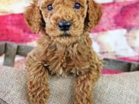 Female Standard Poodle For Placement.html | Autos Post