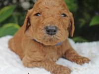 Laken is a light red male basic poodle which was born
