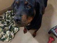 LaLa's story Lala is a super sweet, Rotweiler that came