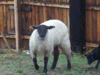 I have a lamb for sale she is 7 months old. i am asking