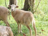 I have the following lambs for sale: Khatadin wether