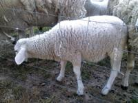 Lambs For Sale. 1 Each Weather (Castrated male) Mixed