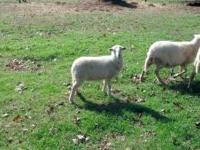 Put your order in now for 4 month old Katahdin lambs. 2