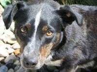 Lancashire Heeler - Hope - Small - Adult - Female -