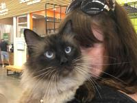 Pure blooded Ragdoll.  Lander needs a home with no