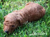 Landon is a red male common poodle that was born upon