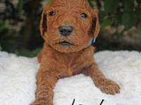 Landon is a red male basic poodle that was born on