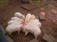 WHITE  PIGS LANDRACE X YORKSHIRE 9-11 WEEKS BARROWS AND