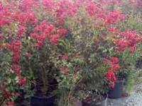 WE HAVE BEAUTIFUL 15,30,45 GALLON TREES. IF YOU ARE