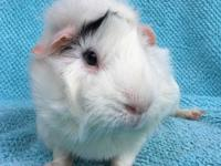 Lanette is a female white and black Abysinnian guinea