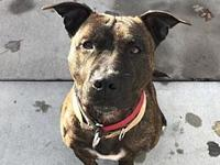Lara's story Lara is a sweet 2 year old pit mix on the