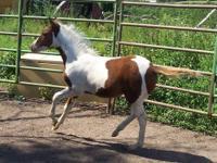 Laredo's Heavenly Ranger is a 2012 American Indian