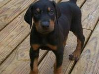 MAX is a large AKC Black/Rust male Doberman. He has a
