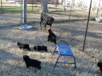 I have ten large AKC certified Rottweiler puppies for