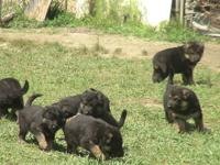Now taking deposit for Large AKC Registered German