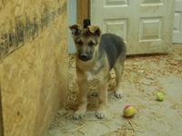 For Sale: Large AKC Registered Purebred German Shepherd