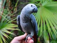 Large African Grey Parrot babies for sale. These are