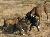 Lovely AKC Registered Boxer pups-- 10 WKS old. 3 males