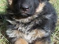 Weier Hase German Shepherds is proud to announce the
