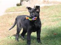 Lovely 12 week old pure black German Shepherd! She is