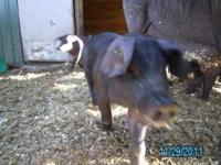For Sale Large Black Hogs Piglets born 9-28-11 1 boar