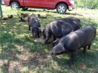 I have 2 beautiful young pig to sell to a lucky person.